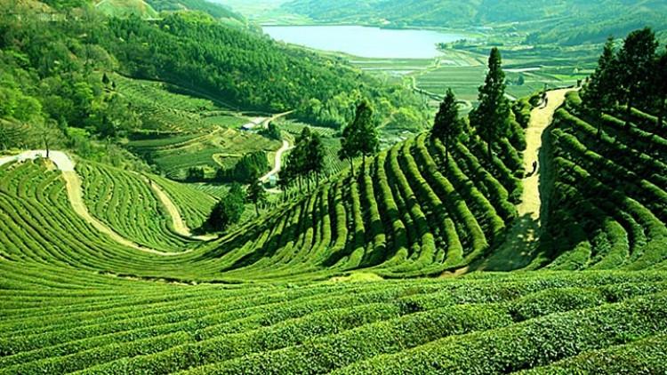 Darjeeling: Sampania ceaiului