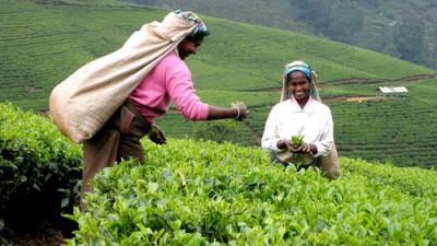 Ceaiul negru – parfumul diminetii